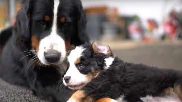 Die Berner Sennenhunde vom Marienstätter Hof - Teil 1